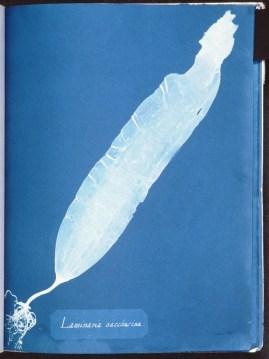 cyanotype-anna-atkins-algue-a13