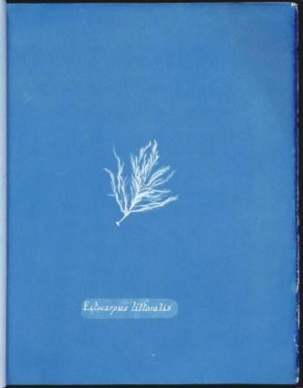 cyanotype-anna-atkins-algue-a20