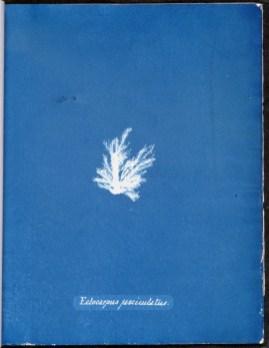 cyanotype-anna-atkins-algue-a21