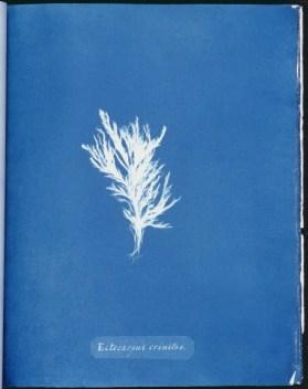 cyanotype-anna-atkins-algue-a22