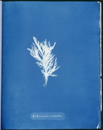 cyanotype-anna-atkins-algue-a22