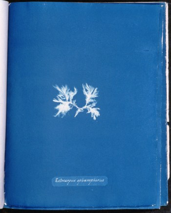 cyanotype-anna-atkins-algue-a23