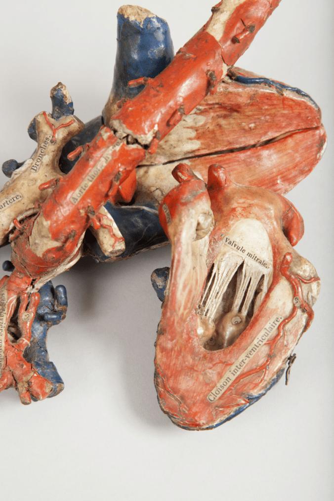 modele-anatomique-docteur-Auzoux-1820-10