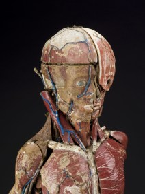 modele-anatomique-docteur-Auzoux-1820-14