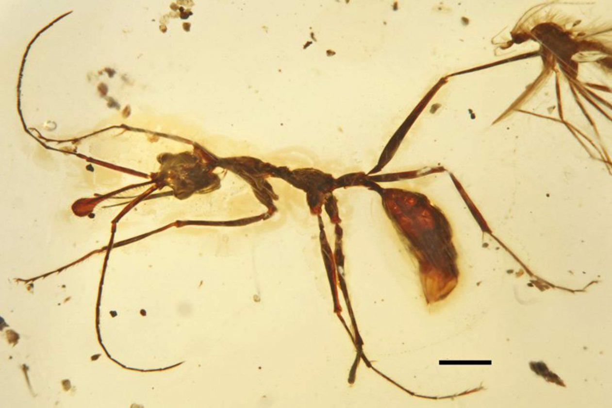 """Ceratomyrmex ellenbergeri, une fourmi """"licorne"""" avec une corne et des mâchoires sur-développées - 99 millions - Birmanie"""
