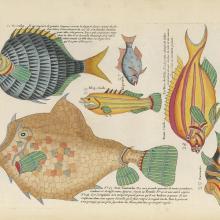 1719, les européens découvrent les poissons tropicaux par des illustrations