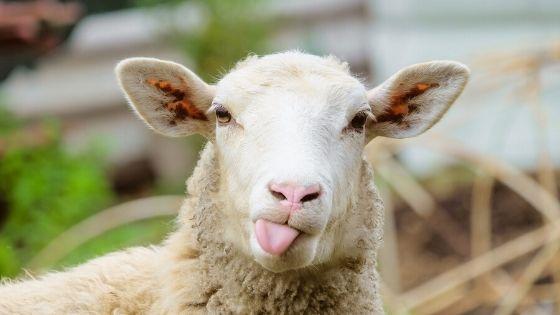 La kératine provient souvent de la laine de mouton