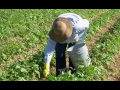 Farmworker in hat bent over in field, picking.