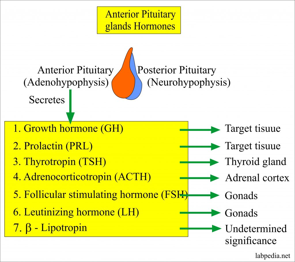 Hypothalamus And Pituitary Gland Hormones