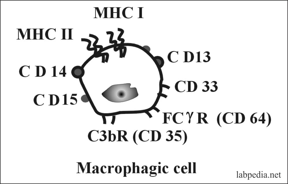 Chapter 7: Immune cells, Nonspecific immune cells