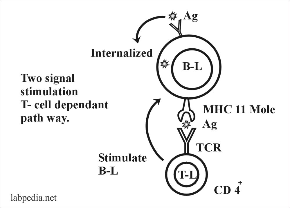 Chapter 8: Specific Immune cells, B and T Lymphocytes, NK