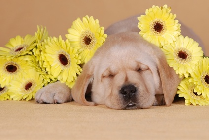 Cute Labrador Puppies Wallpaper Labrador Puppies For Sale How To Chose Your Puppy