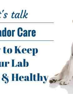 also an introduction to caring for  labrador retriever rh labradortraininghq