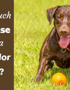 How much exercise does  labrador need choc lab waiting to play fetch also weight running swimming  more rh labradortraininghq
