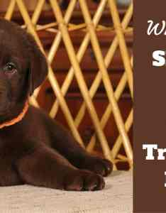 When to start training  puppy lab looking into camera also guide on the best age train rh labradortraininghq