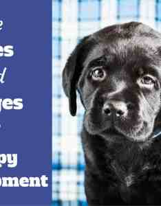 Stages of puppy devlopment written beside  black labrador also ages and growth development  week by guide rh labradortraininghq