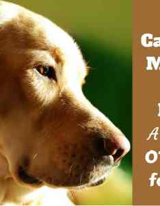 Pain reliever for dogs what can you give  dog ibuprofen tylenol aspirin  more also  my otc medications rh labradortraininghq