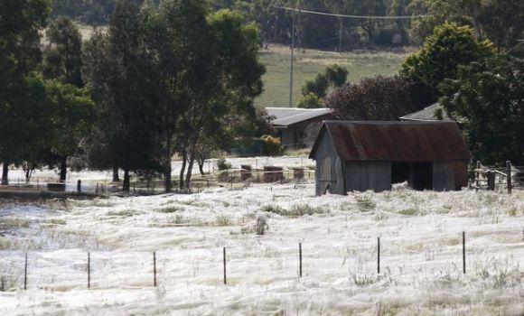 Miles arañas cubren telas pueblo australiano