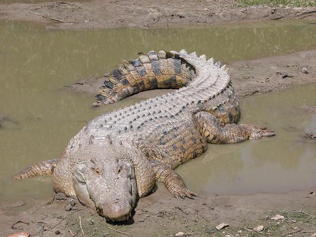 Timor Oriental infestado cocodrilos