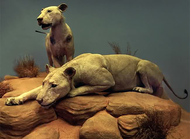 Los legendarios leones del Tsavo