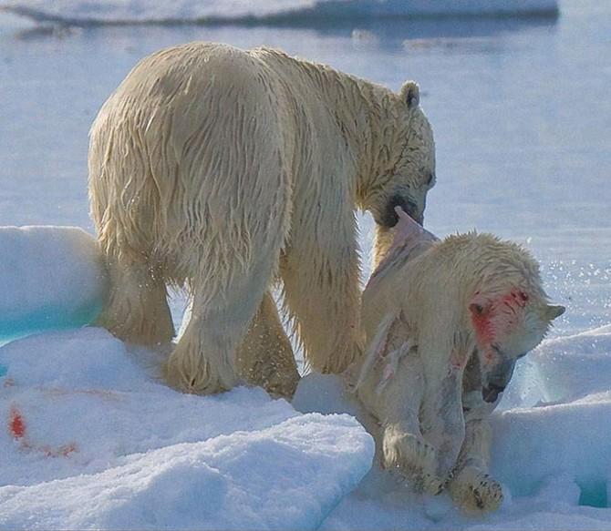 Canibalismo entre osos polares