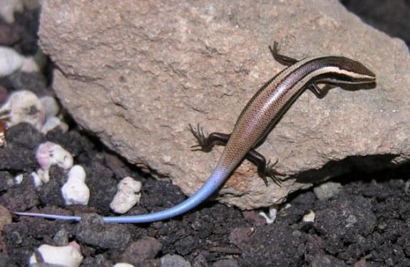 24 nuevas especies de reptiles descubiertas están en peligro de extinción
