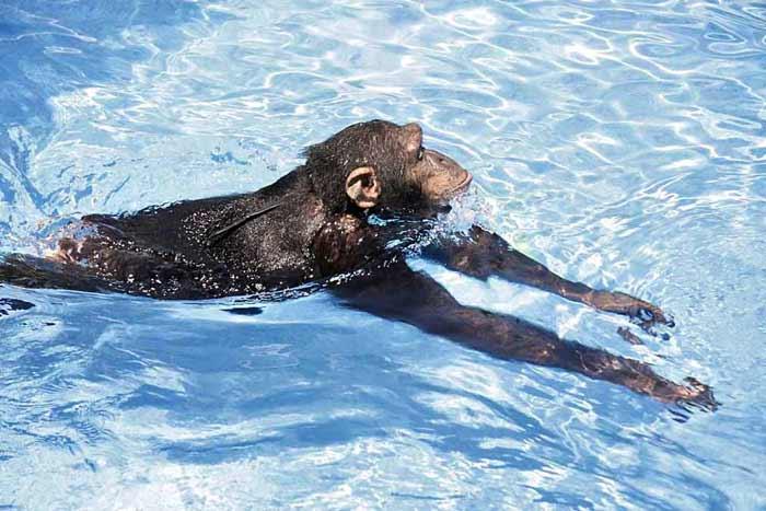 Los simios evolucionan: nadan y bucean 1