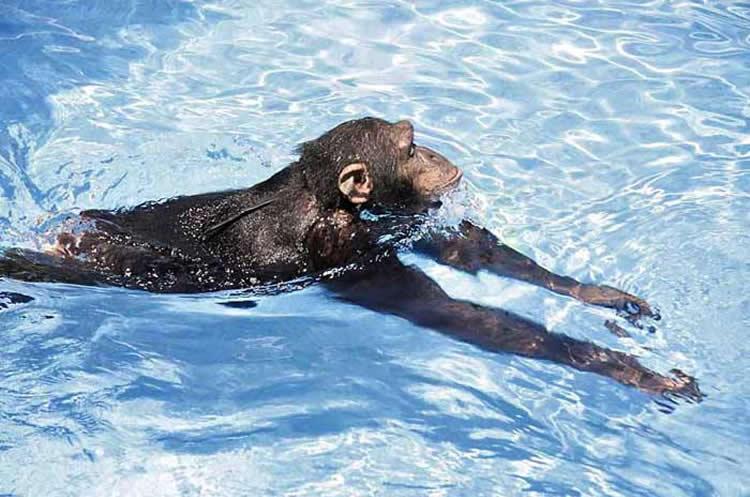 Simio nadando