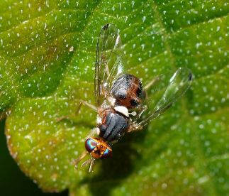 España podría usar insectos genéticamente modificados