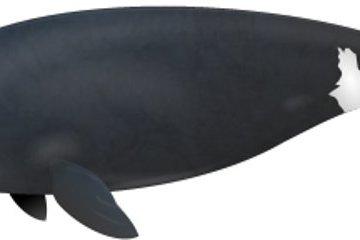 Descubren ballenas que alcanzan los doscientos años de edad 2