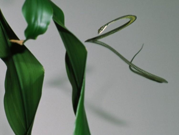 Investigando cómo vuelan las serpientes