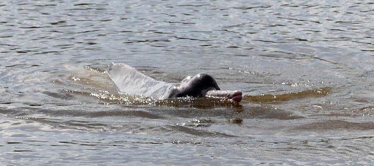 Descubren una nueva especie de delfín de río en Sudamérica