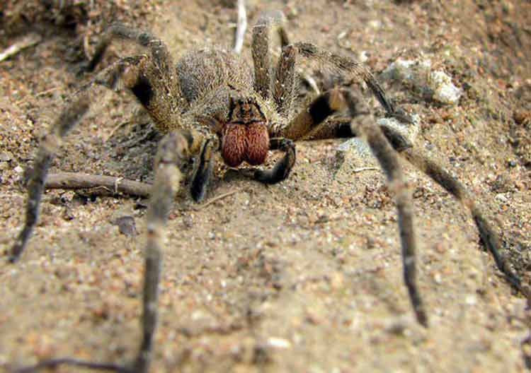 Las arañas más peligrosas del mundo
