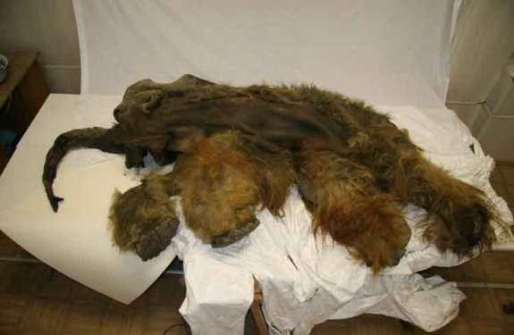 El mamut lanudo descubierto en Siberia tenía el cerebro perfectamente conservado