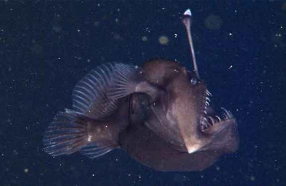 Un terrorífico pez abisal descubierto en la bahía de Monterrey