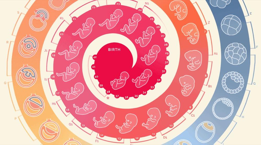 Cómo se desarrolla un embrión humano, en una sorprendente infografía animada