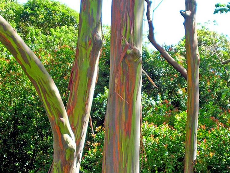 Los fantásticos colores del Eucalipto Arco Iris