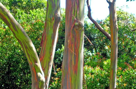Los fantásticos colores del Eucalipto Arco Iris 1