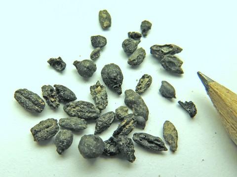 Encuentran semillas de las uvas del famoso Vino del Neguev bizantino 1