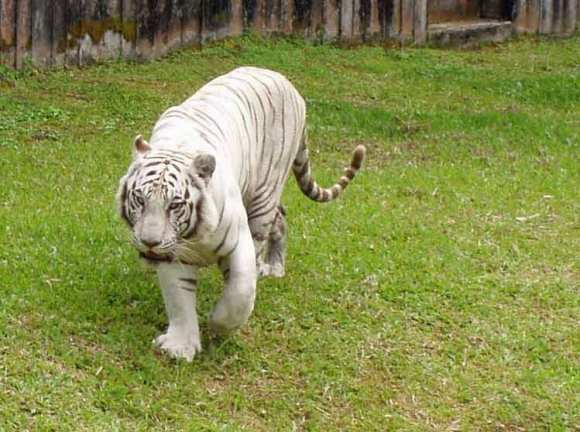 White_Tiger_at_Pana'ewa_Rainforest_Zoo