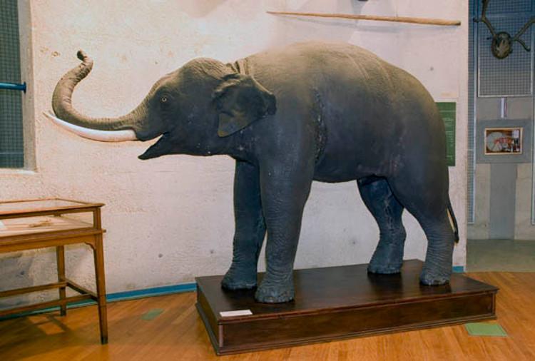 El elefante que viajó a bordo de una fragata española