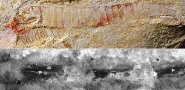 Investigadores hallan el fósil con el sistema nervioso central más antiguo de un animal