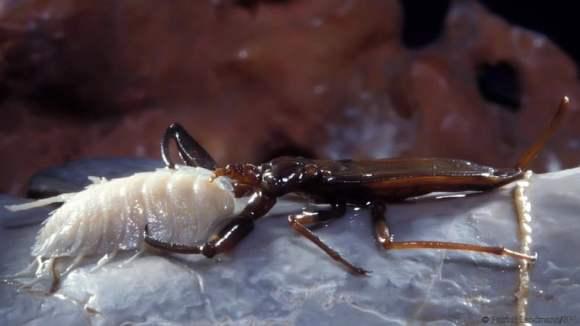 Escorpión de agua
