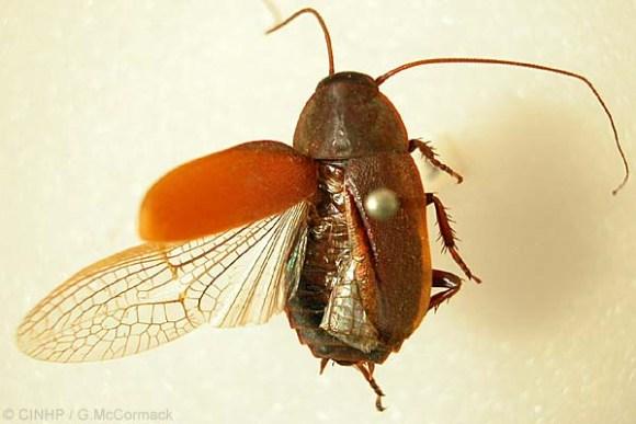 Diploptera punctata