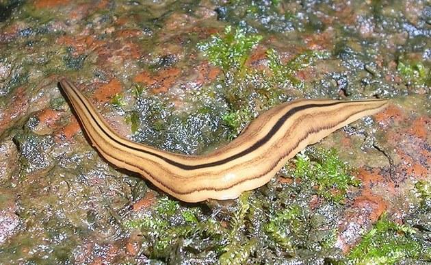 Descubren gusanos inmortales