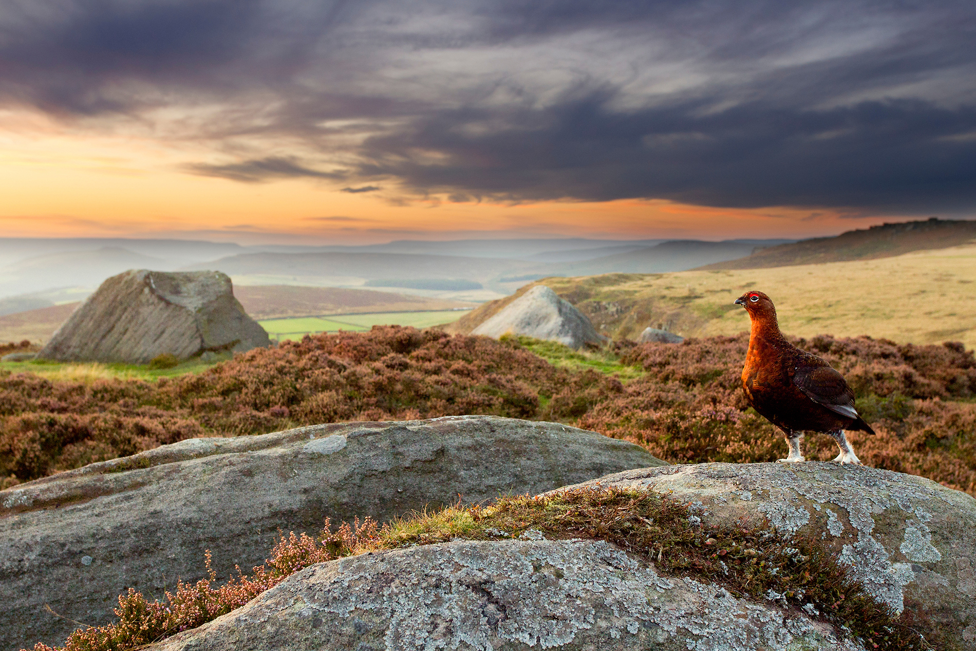 Red grouse in moorland landscape