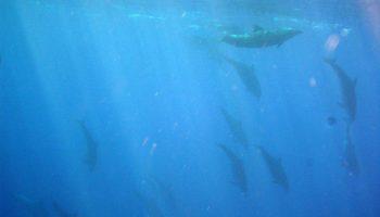Une plongée en apnée avec les dauphins