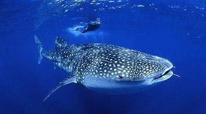 Plonger avec les requins baleines en Australie