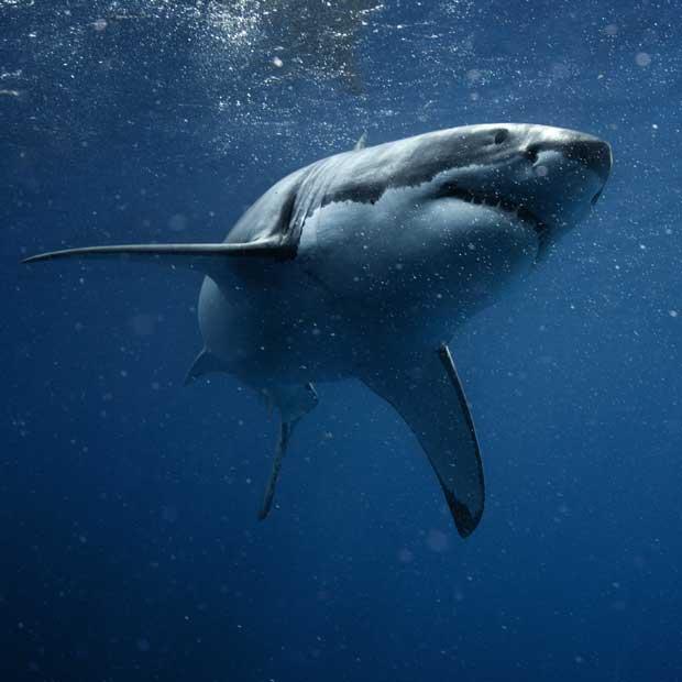 Experts pour la plongée avec les grands requins blancs