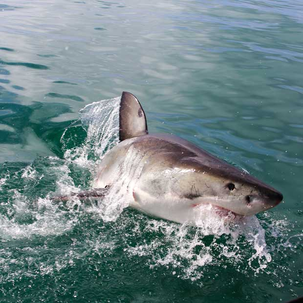 Plongée avec les grands requins Blancs en Afrique du sud